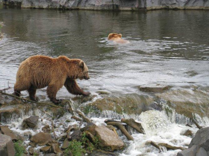 Braunbären auf der Insel Krk
