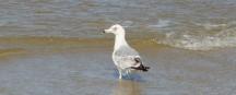 Vogelzug Ostfriesische Inseln